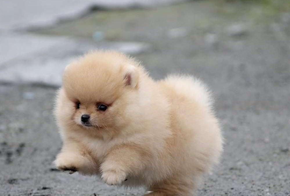 Zwergspitz/ Pomeranian mini WelpenTeddy Hund